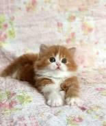 Шотландская прямоухая длинношерстная кошка.