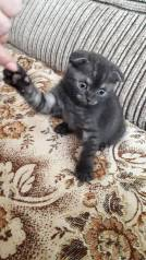 Шотландская кошка.