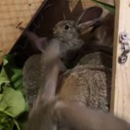 Продам кроликов породы фландер 2.5 мес.