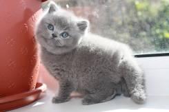Британская кошка.