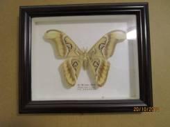 Экзотические бабочки в рамке под стеклом из красного дерева. Новый.