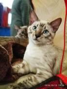 Бенгальская кошка. Под заказ из Уфы