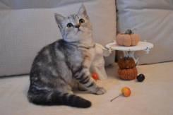Шотландская прямоухая кошка. Скоттиш-страйт.