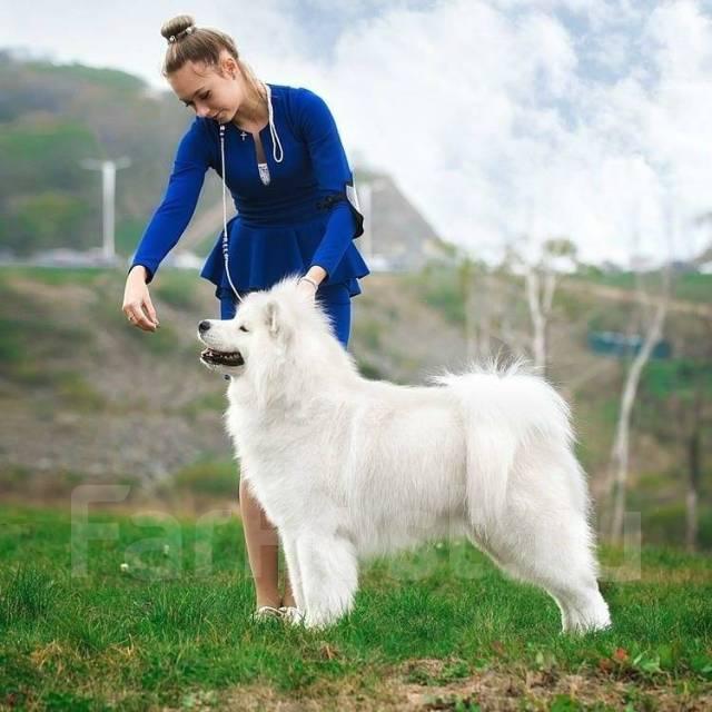 Самоедская собака.