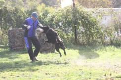 Восточно-европейская овчарка.