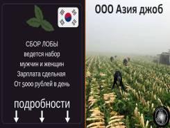 Работа в Ю. Кореи. Сбор лобы. Мужчины и женщины. З/п от 5000 руб/день.