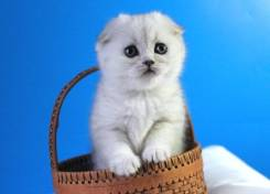Серебристый котенок