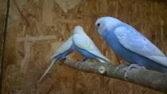 Попугаи Волнистые. Под заказ