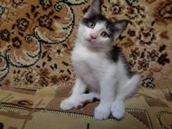 Чернобелый, ручной, котенок-мальчик