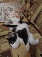 Чернобелый, ручной, котенок-мальчик необычного окраса