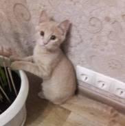 Котенок красивого персикового окраса
