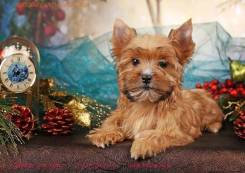 Мини девочка Русской Салонной собаки. Под заказ