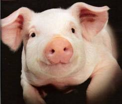 Забой и раздел свиней