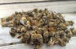 Подмор пчелиный.