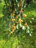 Продам большой плодоносящий сад с урожаем. 16 км, р-н Хабаровский, электричество 5 кВт, от частного лица (собственник)
