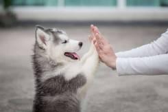 Курс послушания (дрессировка) для щенков и молодых собак. Выезд.