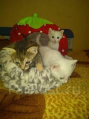 Котята сибирско-ангорские
