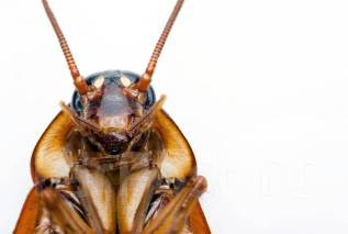 Уничтожение тараканов 100% БЕЗ Запаха! С гарантией результата!