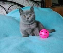 Шикарный супер плюшевый котенок окрас голубой толстушка Эллис
