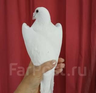 Голуби белые: свадьба, выпускной, фотосессия - 500 рублей голубь.