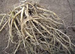 Куплю корень элеутерококка, диоскорея ниппонская.